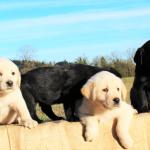 Oregon Goldadoors Puppies